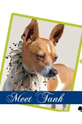 Meet Tank | Chihuahua mix