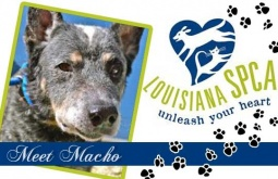 Meet Macho | Australian Cattle Dog