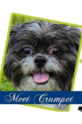 Meet Crumpet | Shih Tzu Mix